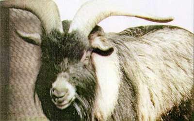 Коза камерунская