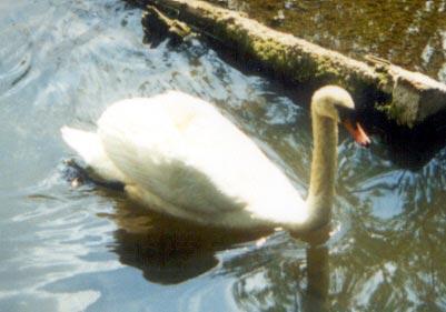 Лебедь (шипун, кликун)
