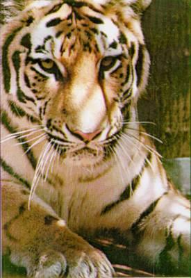 Амурский тигр таида
